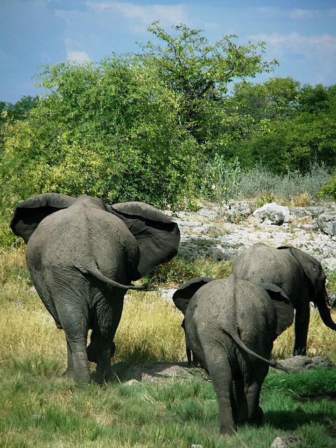 Elephant bums Etosha
