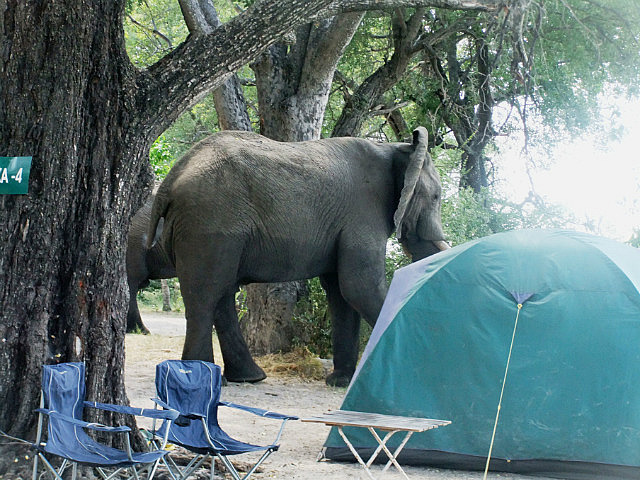 Elephant in camp Moreme
