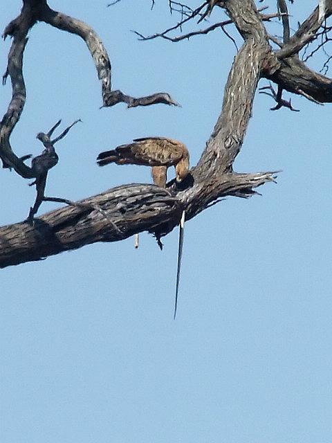 Tawny Eagle with a Mamba?