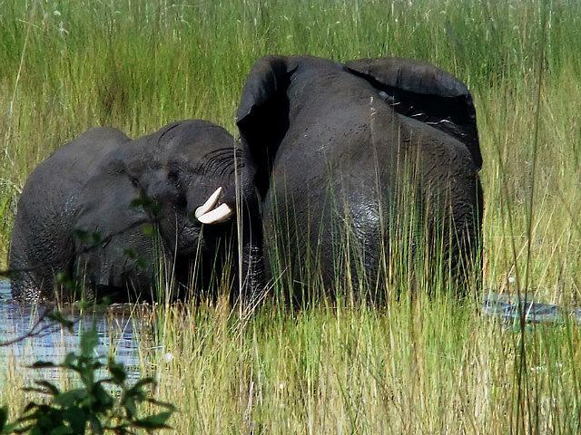 Elephants Moreme
