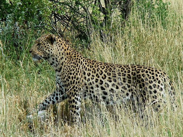 Leopard Etosha