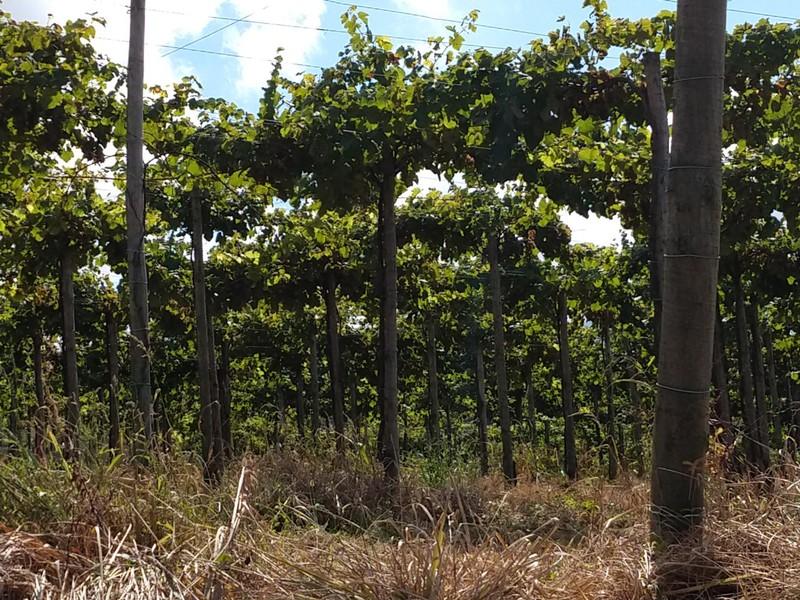 Txakoli vines on high trelisses form a canopy