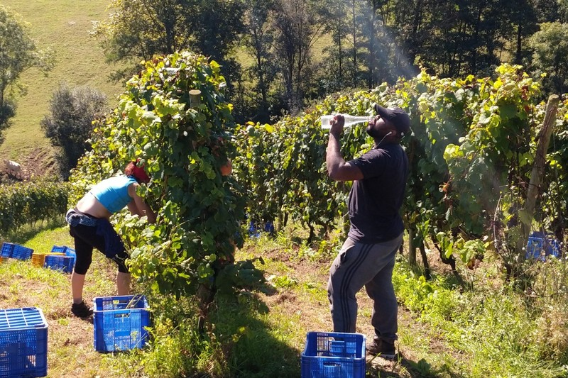 Grape picking is thirsty work in the Spanish sunshine