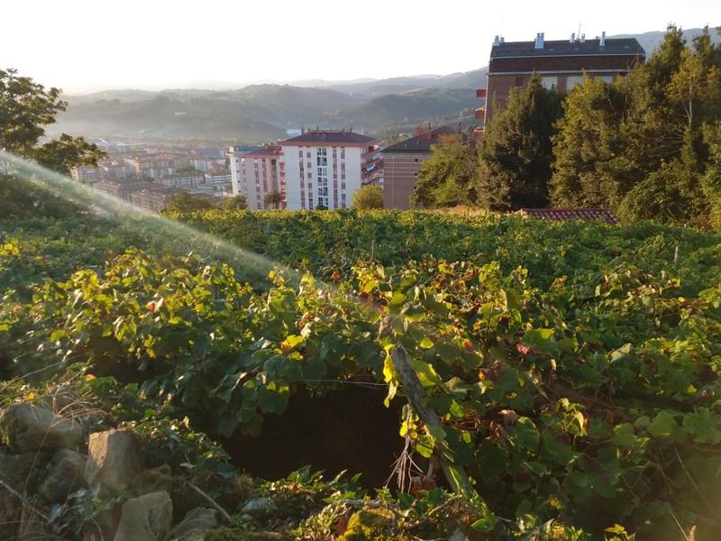 Txakoli vines as we climb out of San Sebastian - picking had just begun