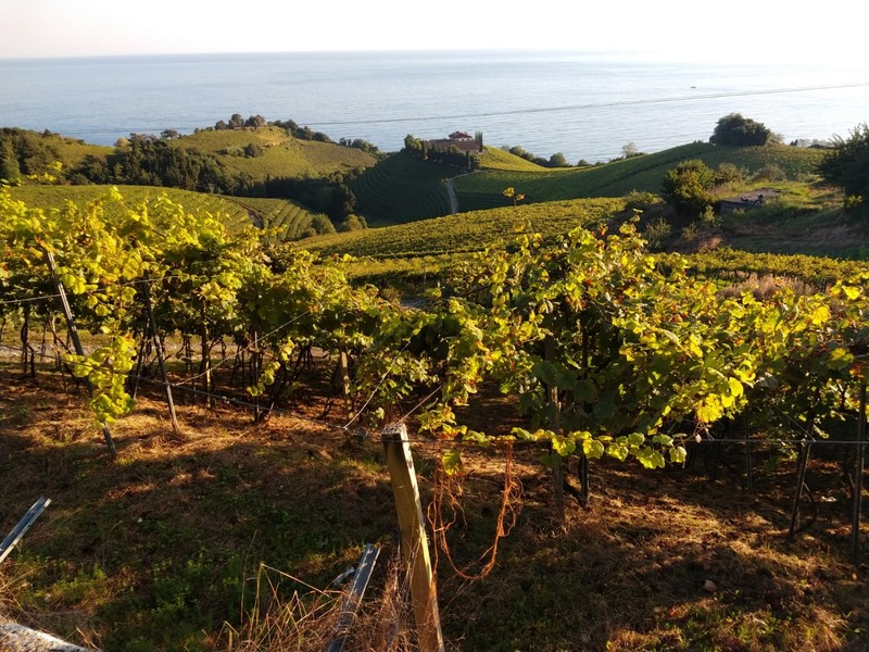 Txakoli vines above Getaria