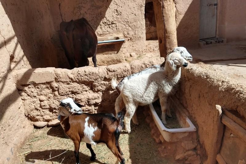Livestock pen attached to Berber home