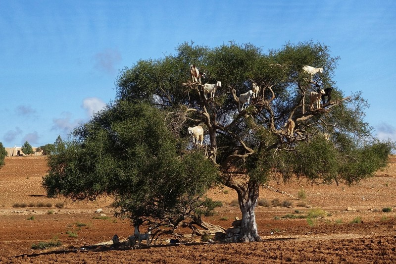 Argan tree - with tree-climbing goats - a bit of a staged thing perhaps