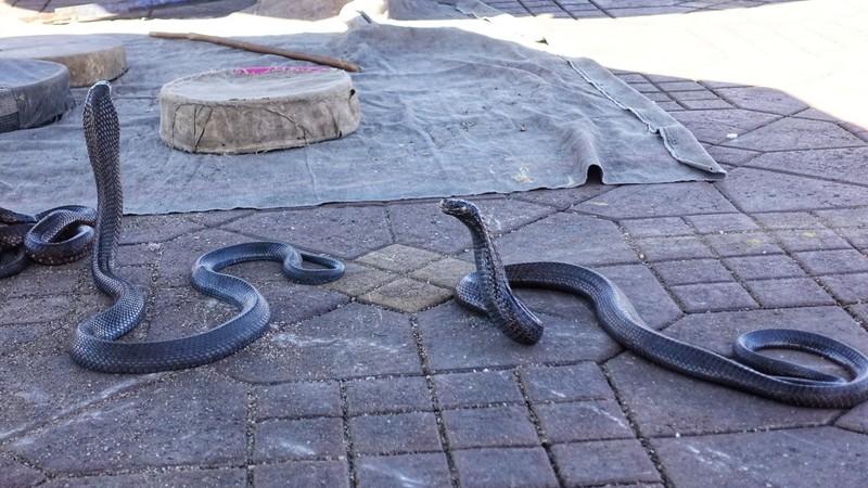 Snake-charmer's pets