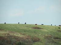 Cows grazing in Virginia