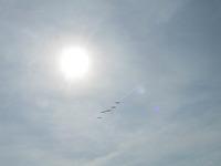 The pelicans overhead.
