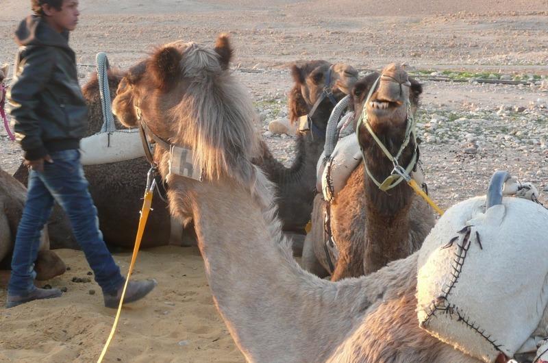 Camels waiting
