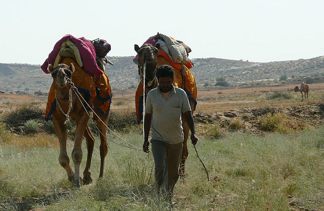 A driver bringing camels back to lunch spot