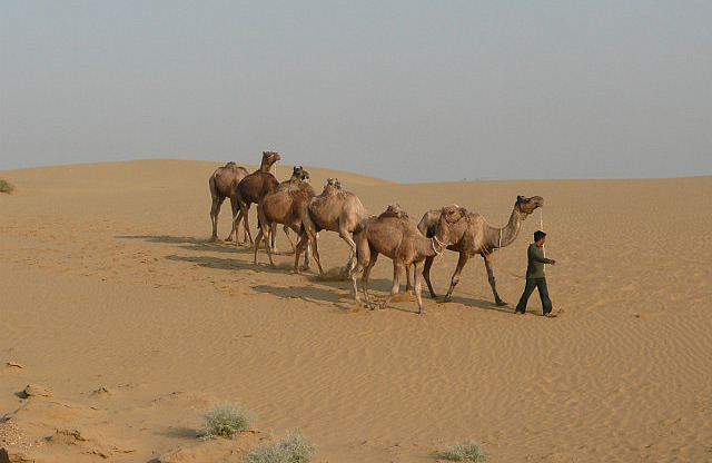 Rounding up the camels in the morning