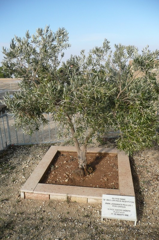 Olive Tree planted by the pope