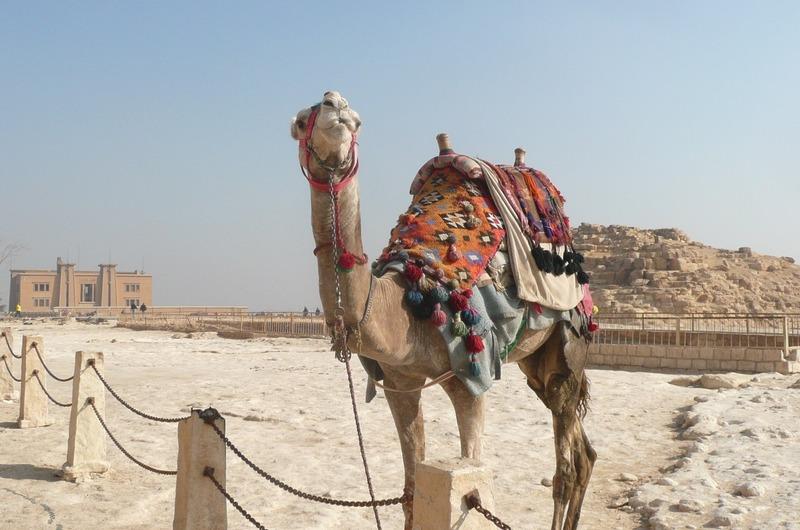 Always camels