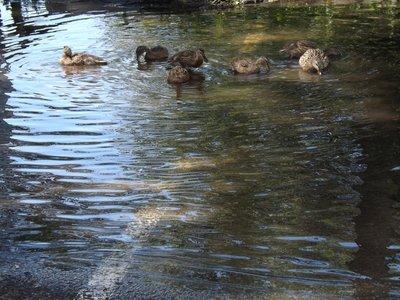 Ducks in water overflow from creek into parking lot on Riverside