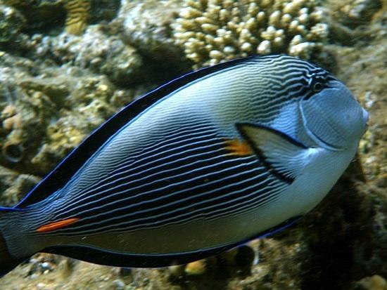 First puffer fish