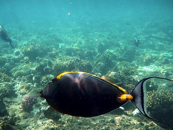 Favourite puffer fish