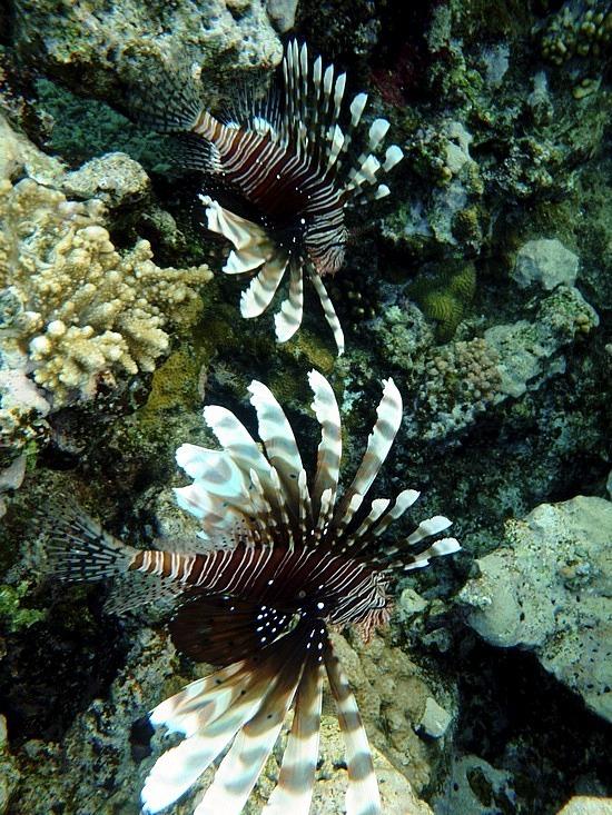 Lion fish pair