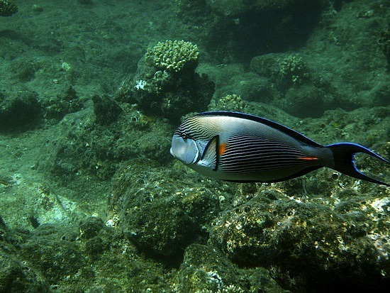 Parrot fish in the deep blue