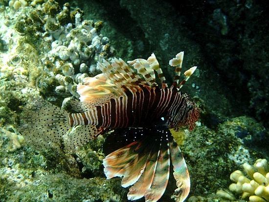 Lionfish again