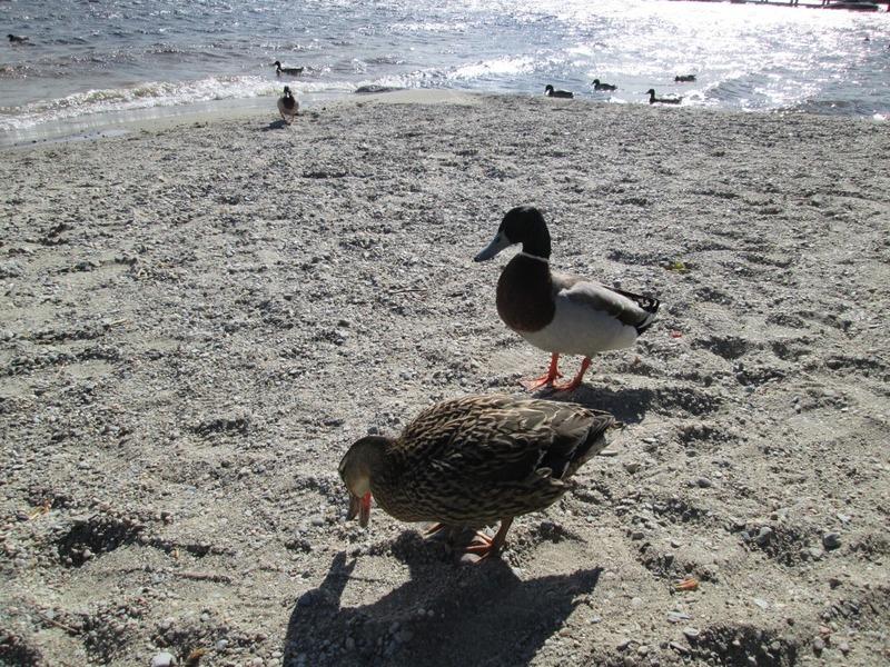 Bonnie ducks on the bonnie banks of Loch Lomond