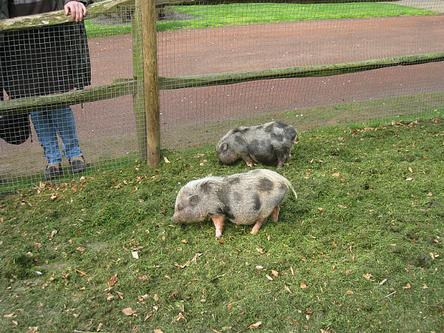 Piggies not biting