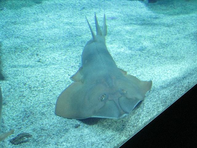 Giant guitarfish