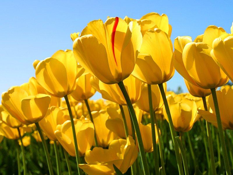 large_Tulips.jpg