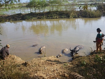 Water Buffalo Bath Break