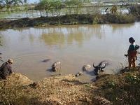 Water Buffalo Bath Break