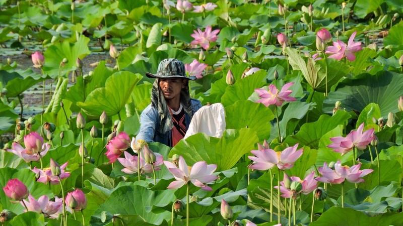 Picking lotus flowers