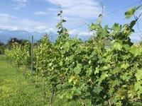 Vineyard Scenery @ Schuchmann Winery. Caucasus Mtns in Far Distance