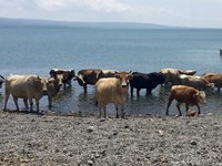 Cows Enjoy Cildir Lake Not Tourists