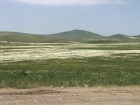 Swathes of Daisies, Armenia, Near Goergian Border