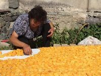 The First Stage of apricot Drying Process - Half a Day in the Hot Sun