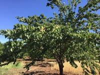 Apricot Trees Laden with Fruit