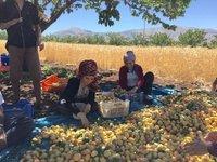 Sorting Apricots Near Malatya