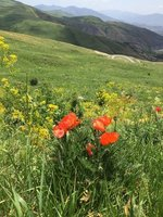 It's Poppy Season Up on Selim Pass Too