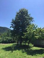 Hazelnut Tree - Zaqatala area is Centre of Hazelnut Production