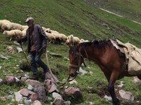 Man & Horse Guiding Sheep Jam