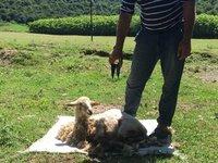 Lamb having Its First Hair Cut. So Docile.