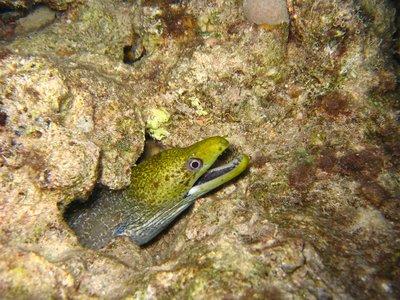 CAIRO02_yellow-eel.jpg