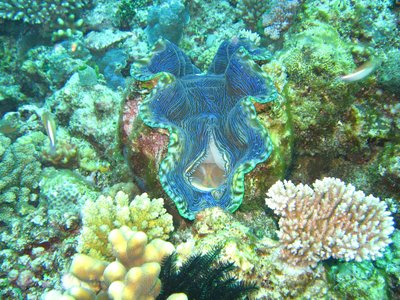 GD3_Giant-blue-clam.jpg