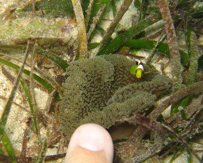 GD_Baby_anemone_fish