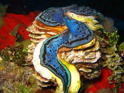 REDSEA_clam_blue