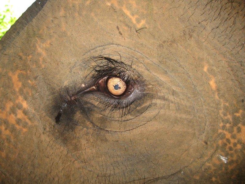 4SGT Elephant eye