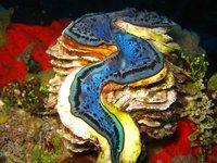 REDSEA_clam_blue1