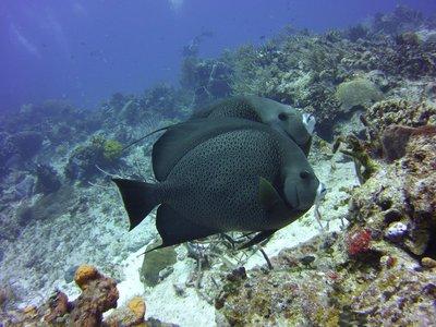 Beautiful Angel fish