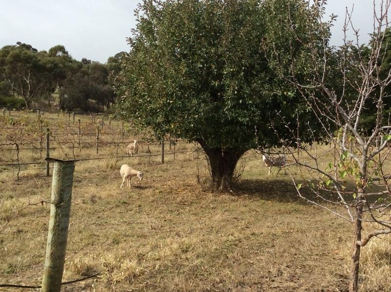 sheep in the vineyard
